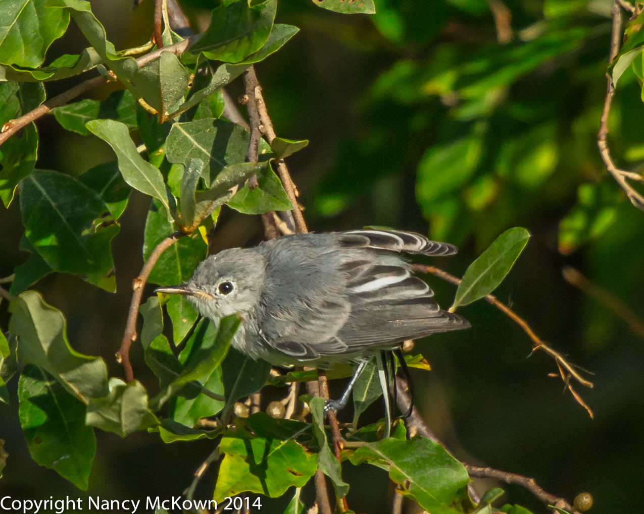 Photo of Blue Grey Gnatcatcher