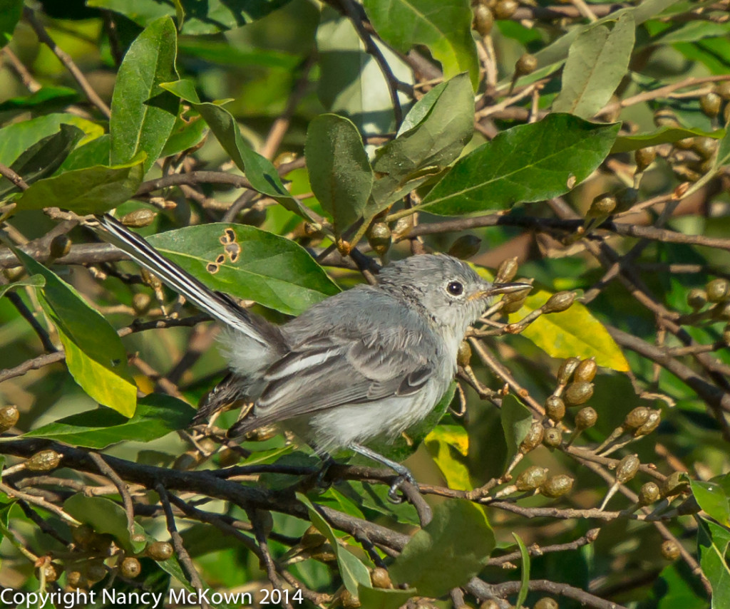 Photo of BlueGray Gnatcatcher