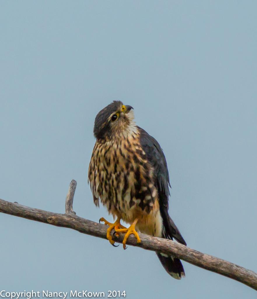 Photo of Merlin Falcon