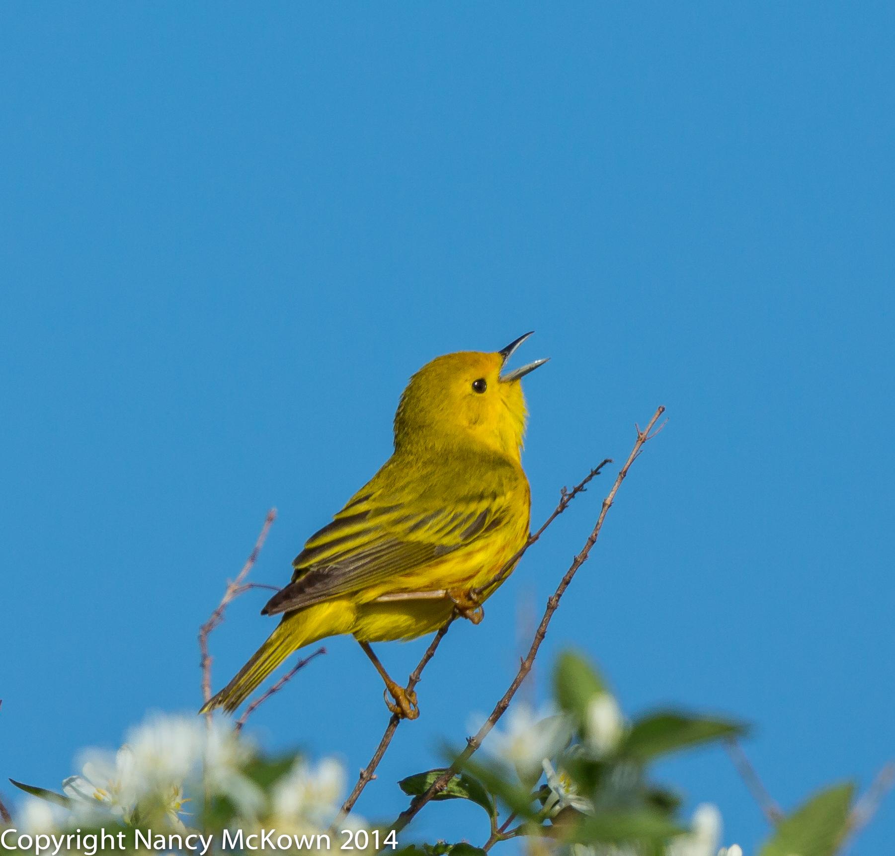 Photo of Yellow Warbler
