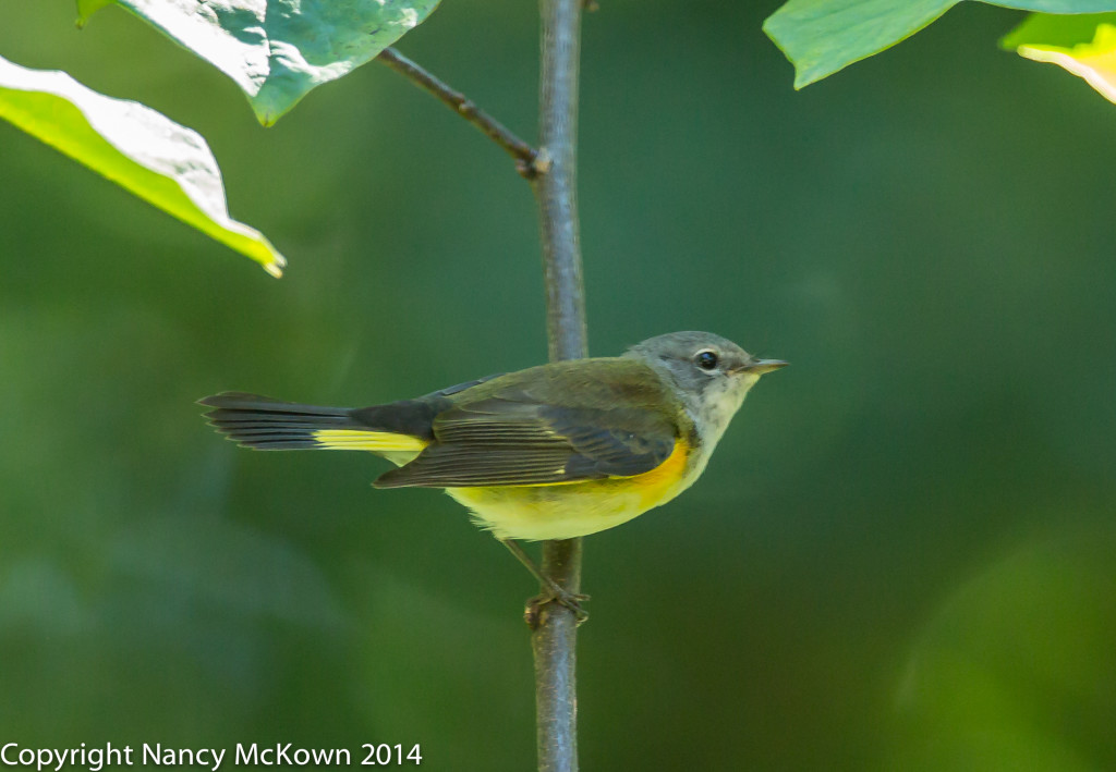 Photo of American Redstart