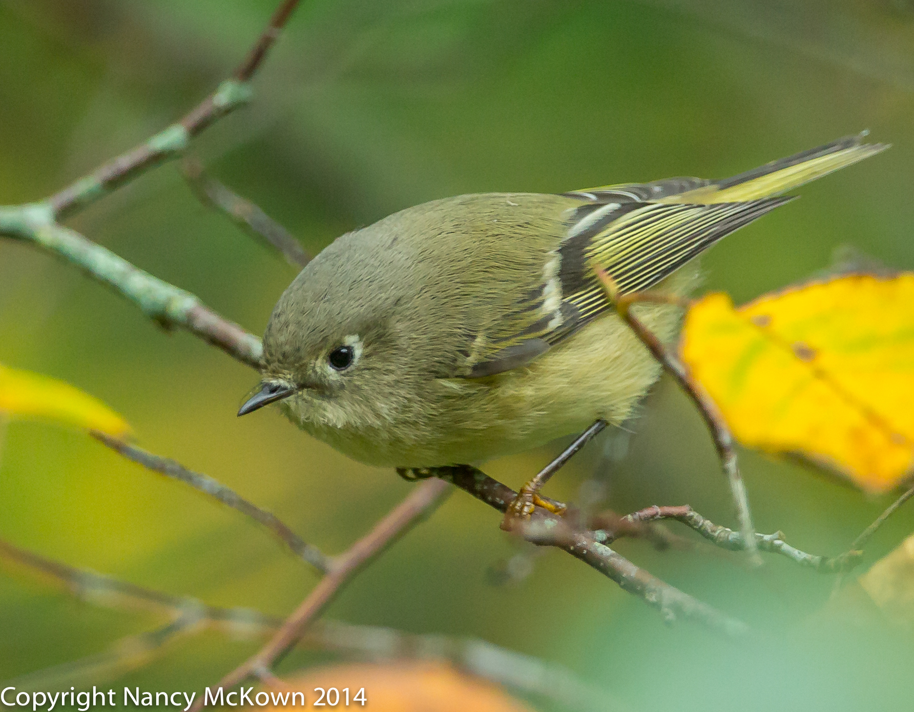 Photograph of Ruby Crowned Kinglet