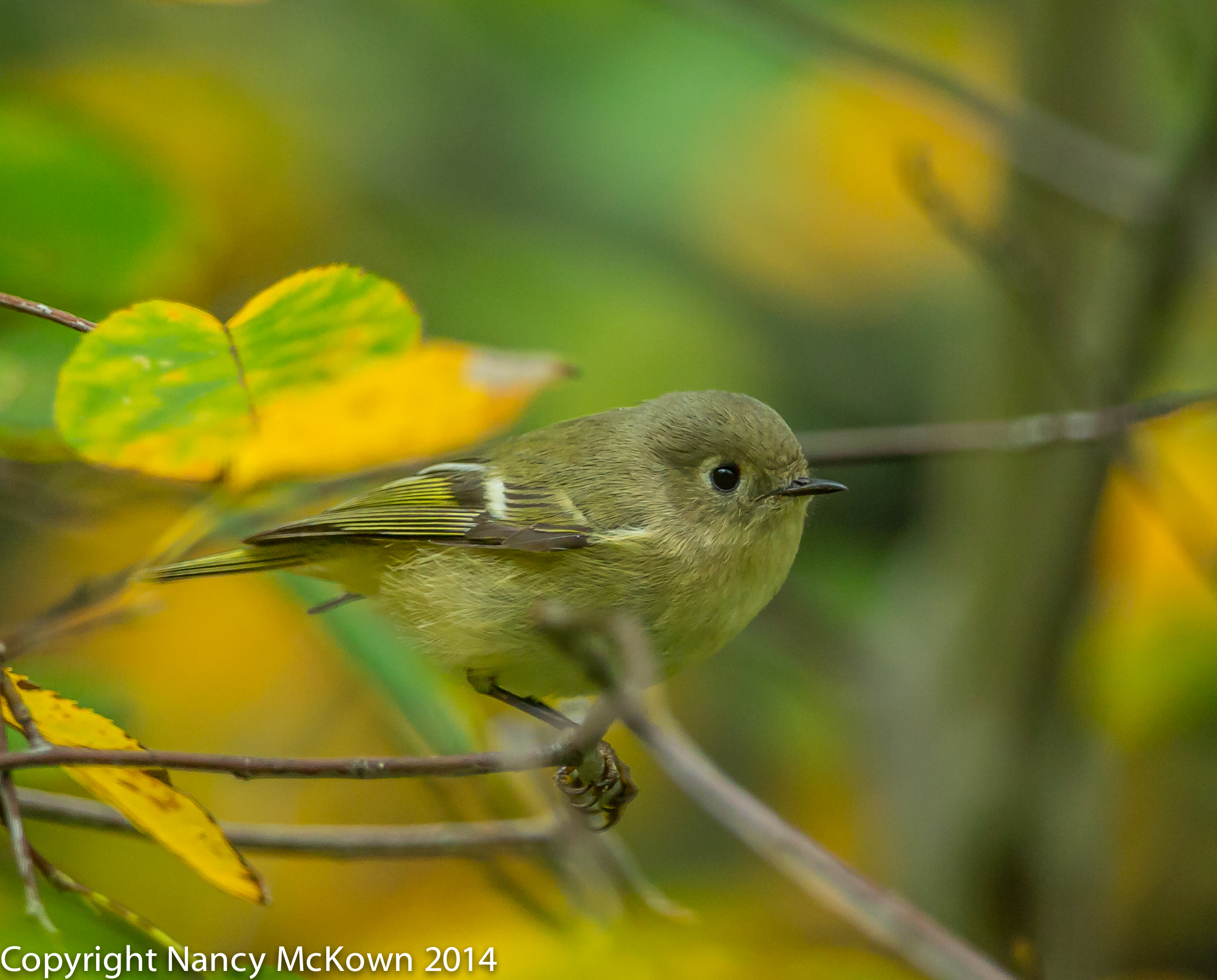Photo of Ruby Crowned Kinglet