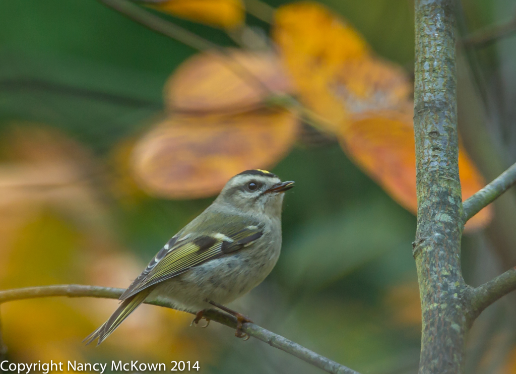 Photo of Golden Crowned Kinglet