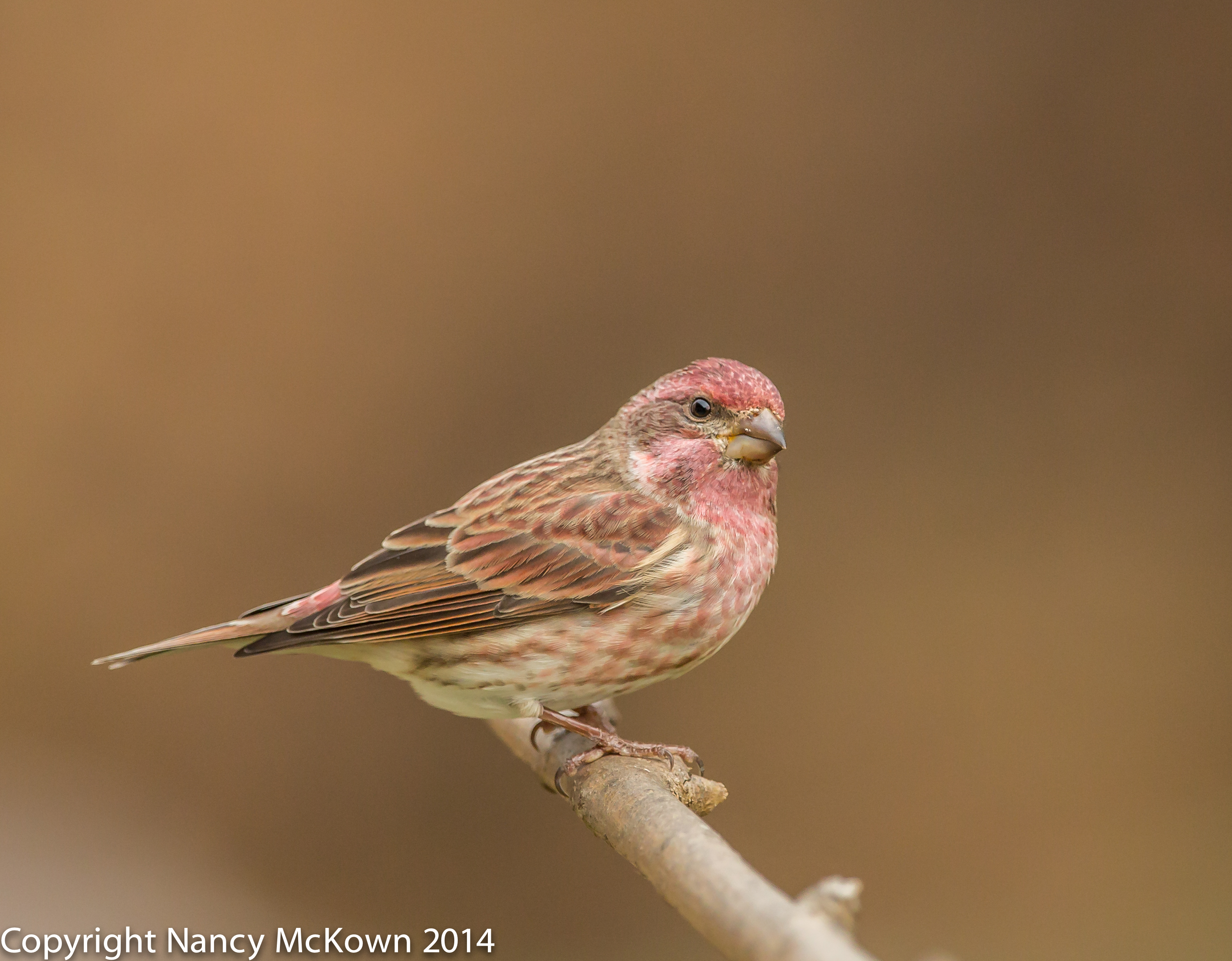 Photo of Male Purple Finch