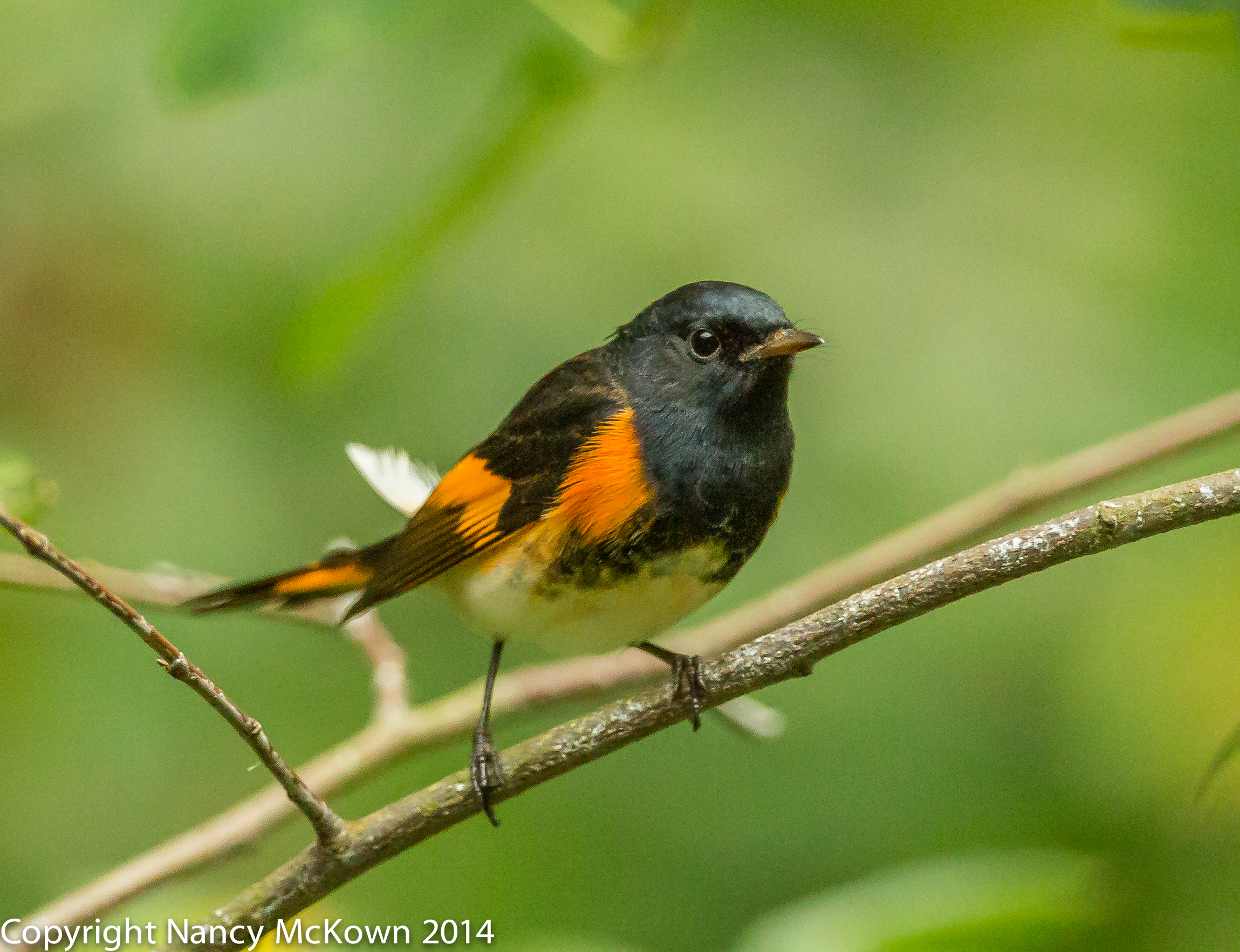 Photo of male American Redstart