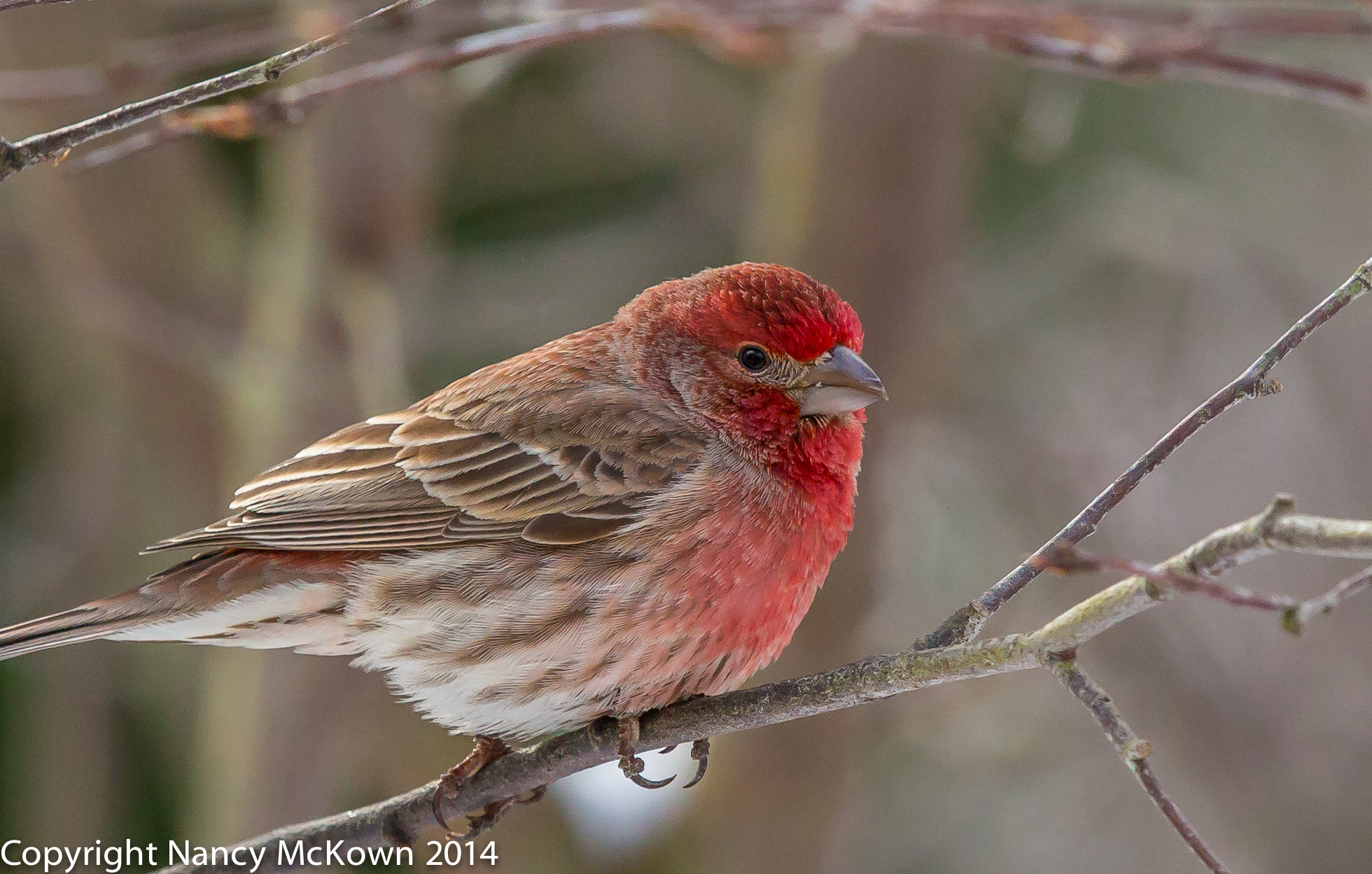 Photo of House Finch, Male