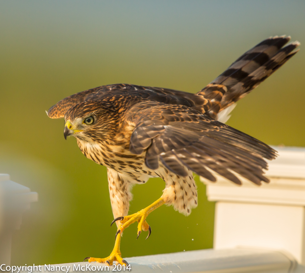 Photo of Cooper's Hawk