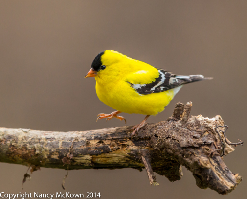 Photo of American Gold Finch