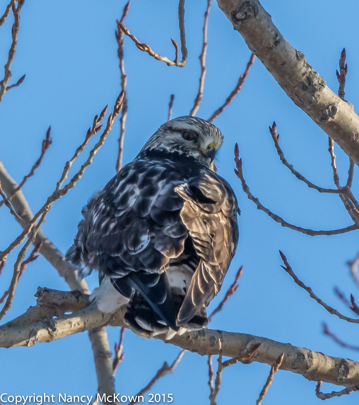 Photo of Rough Legged Hawk