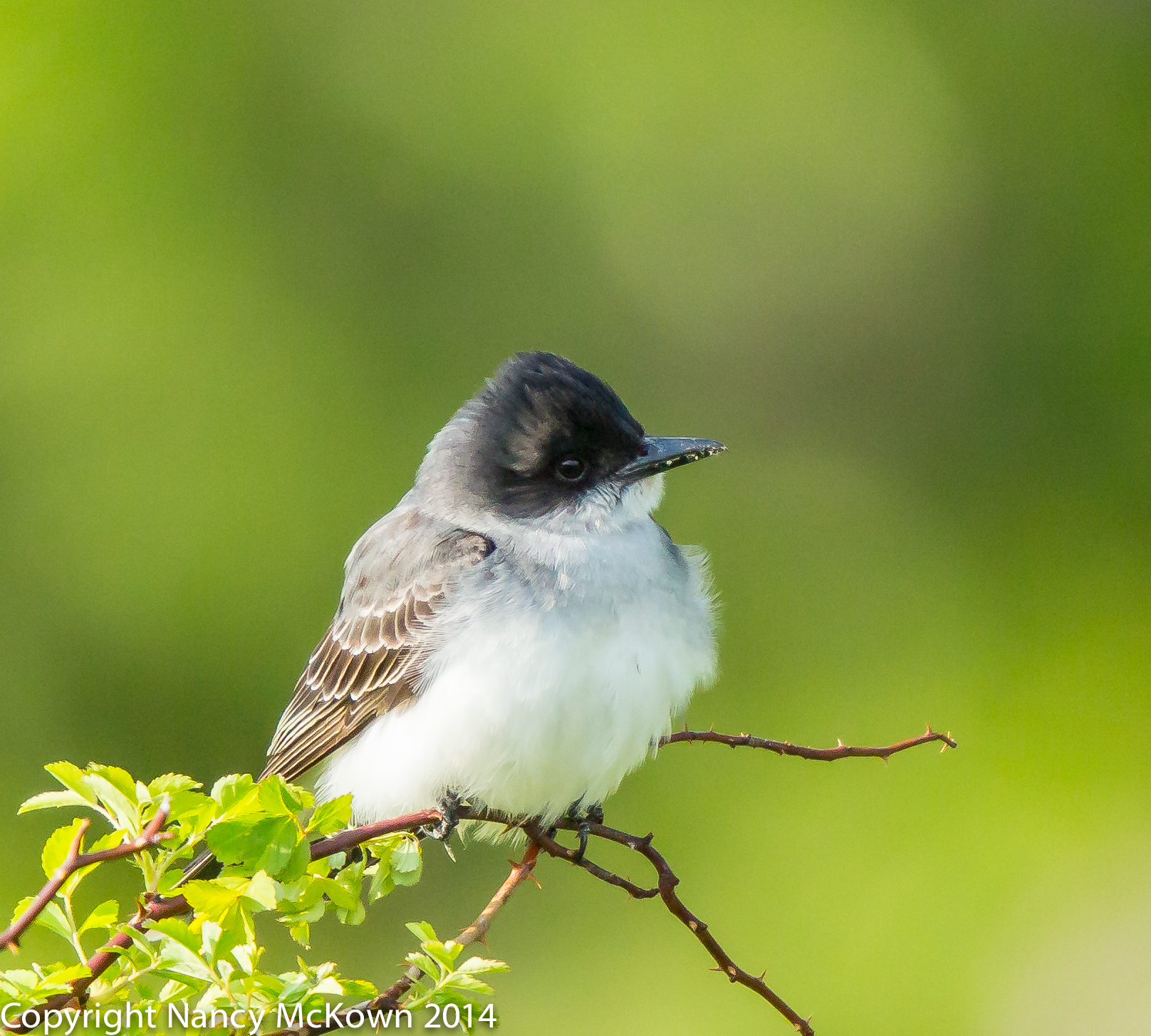 Photograph of Eastern Kingbird