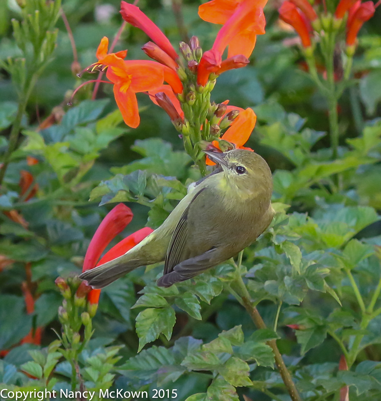 Photo of Orange Crowned Warbler