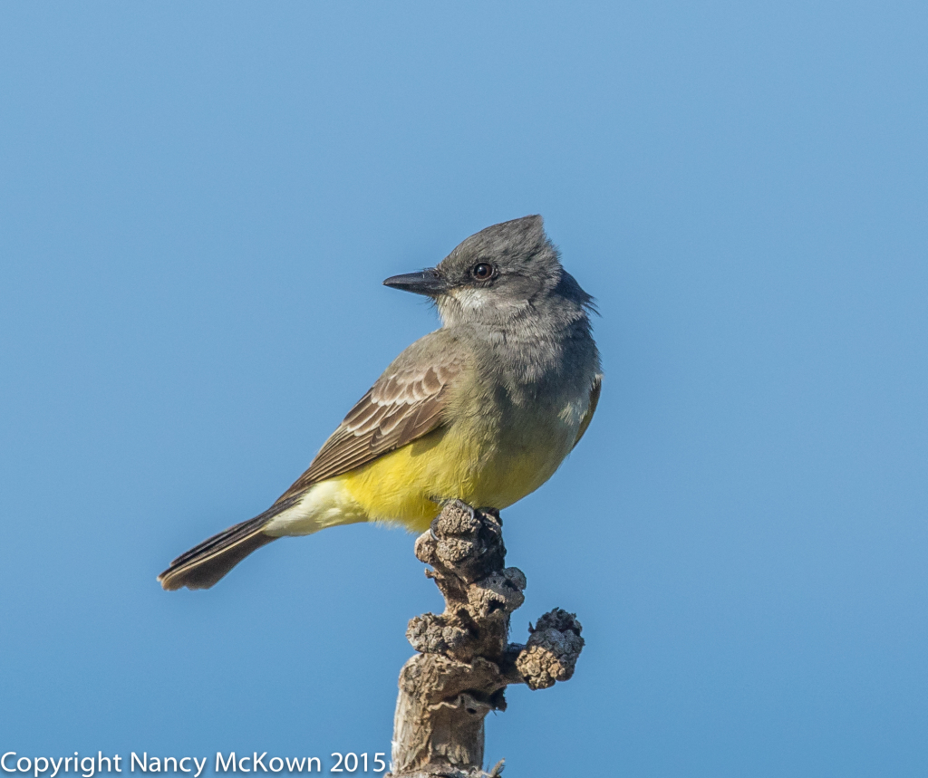 Photo of Cassin's Kingbird