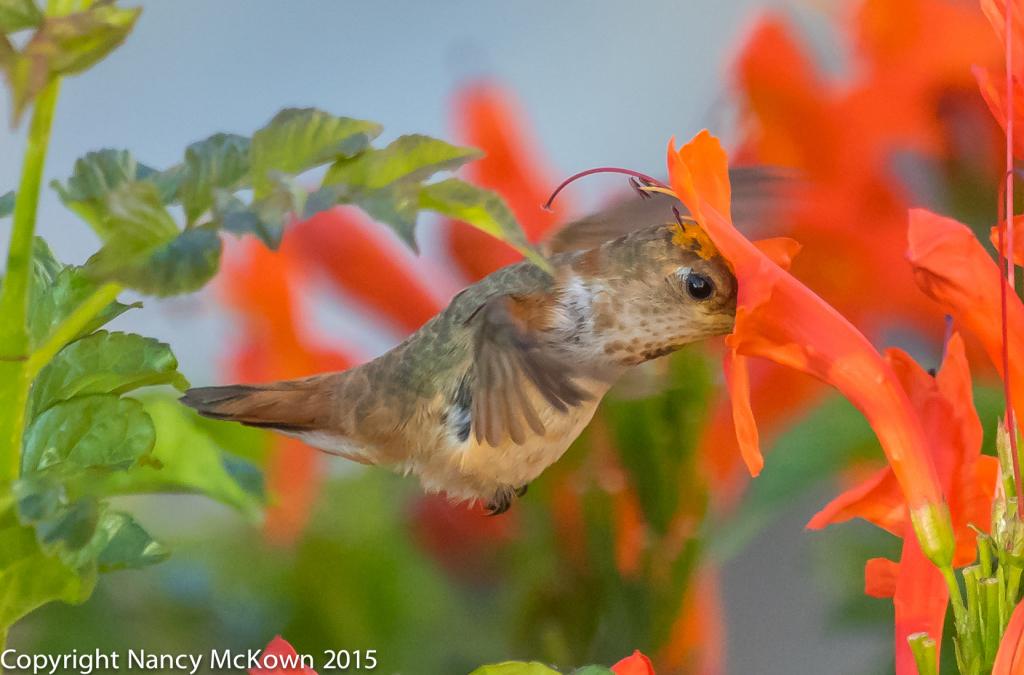 Photo of Female Allen's Hummingbird