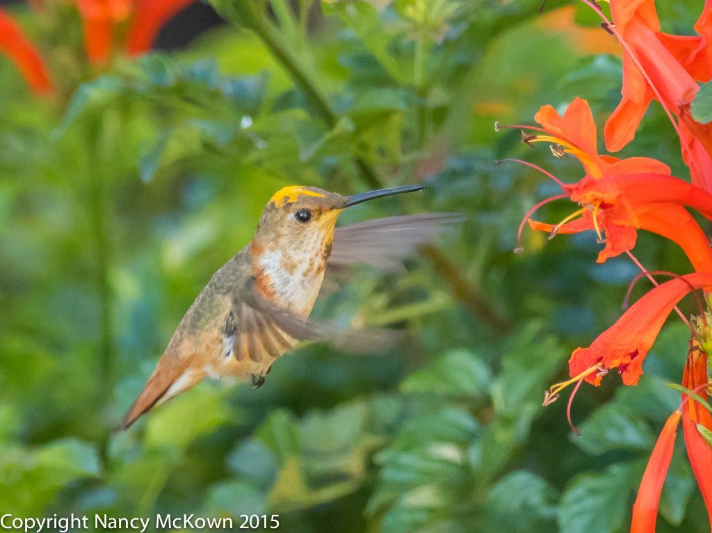 Photo of Allen's Hummingbird