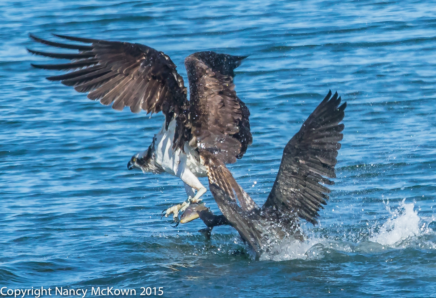 Food Fight - Osprey and Cormorant
