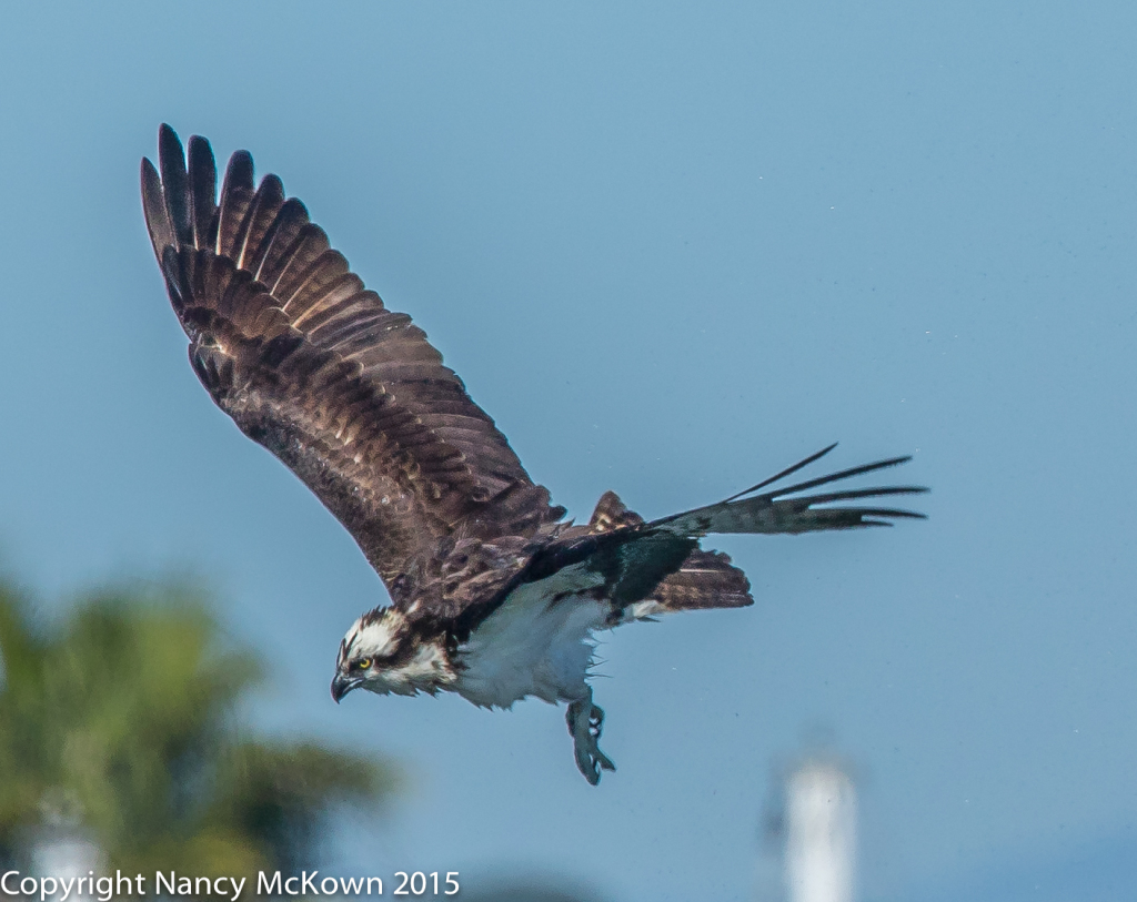 Photo of Osprey
