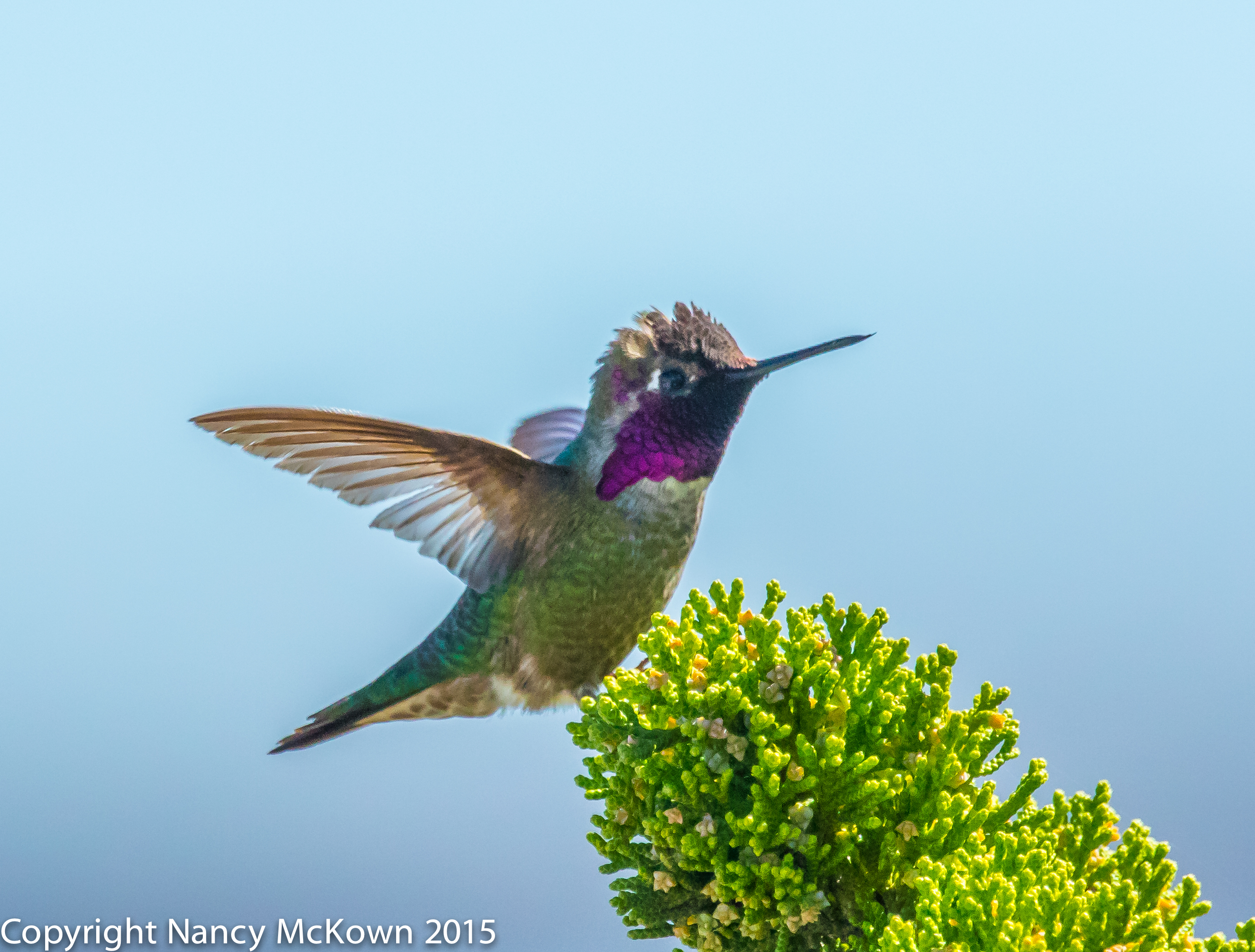 Photo of Anna's Hummingbird In Flight