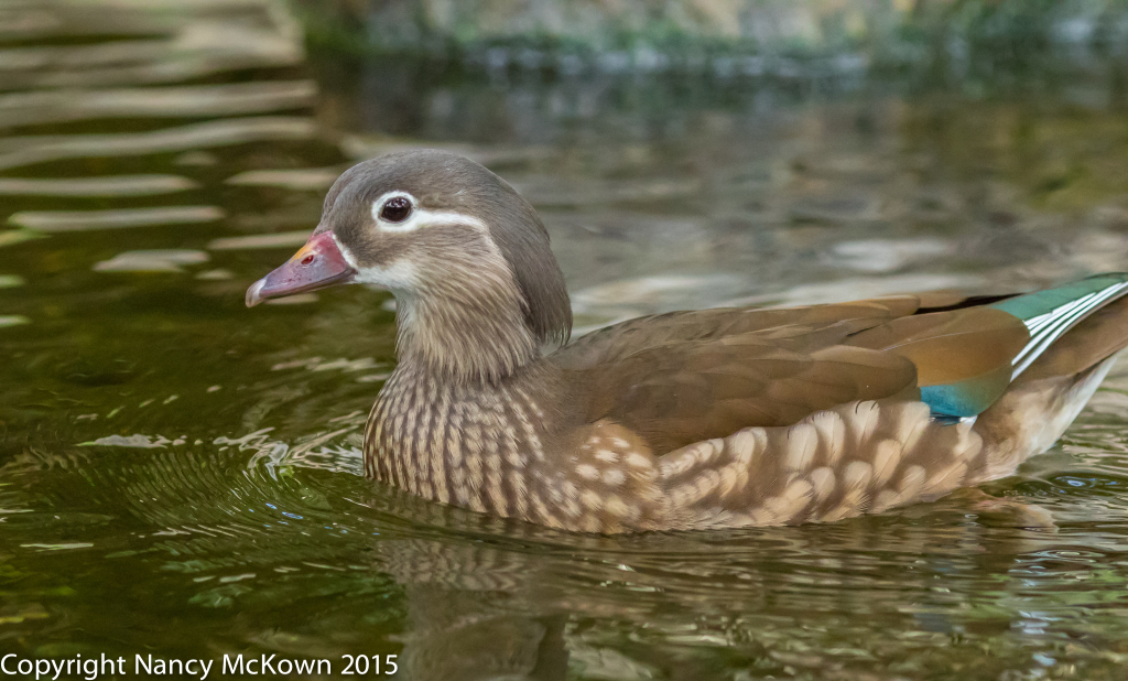 Photo of Female Mandarin Duck