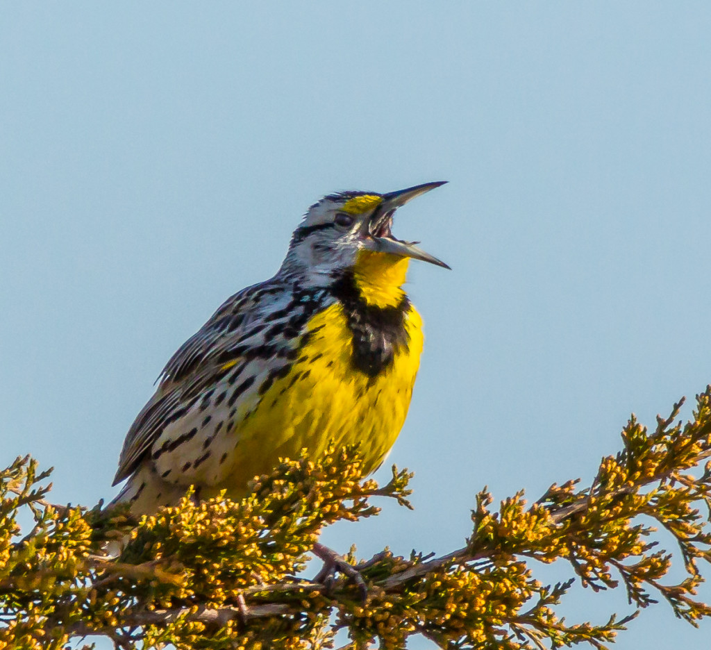 Photo of Eastern Meadowlark