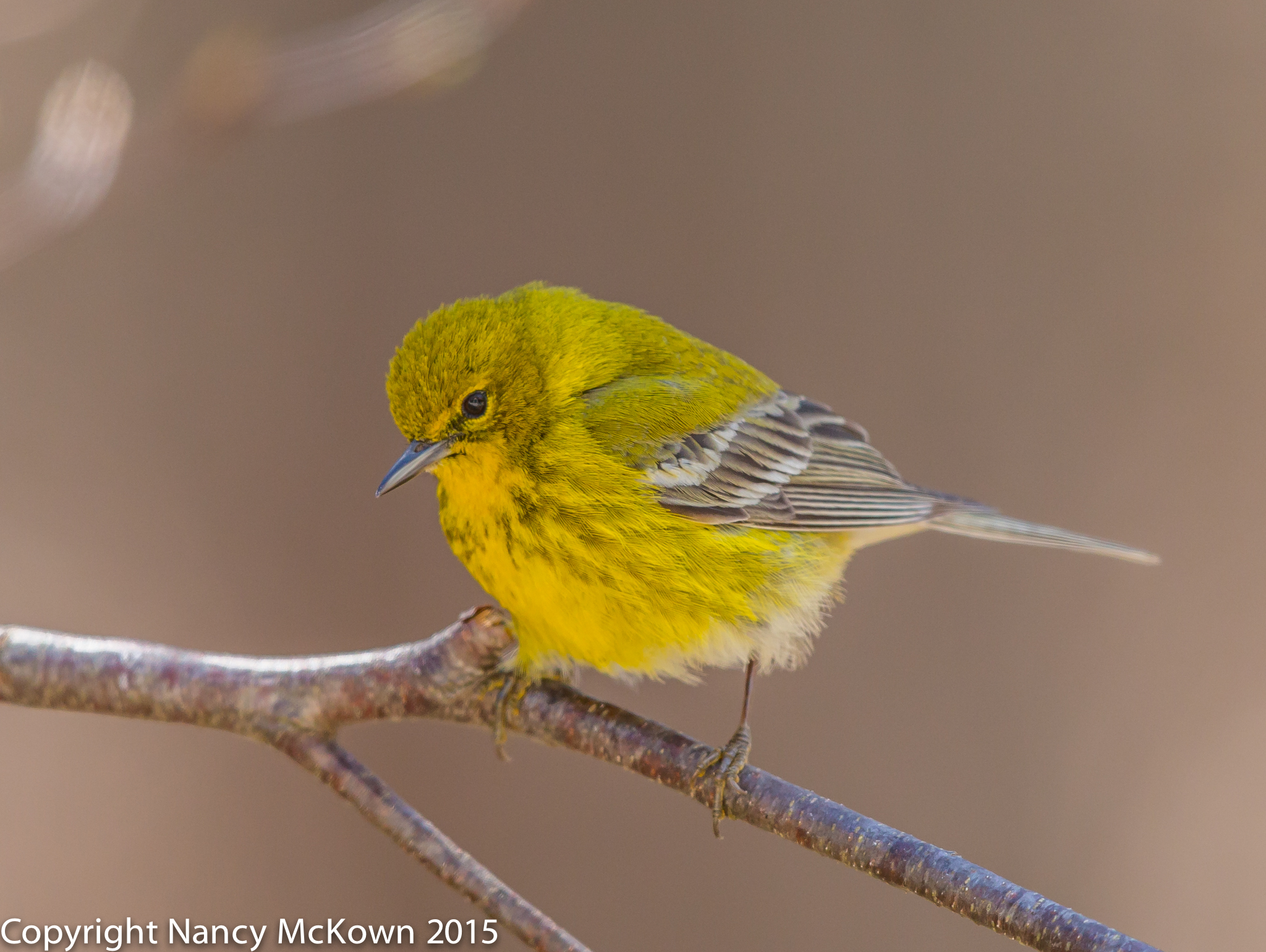 Photo of Pine Warbler