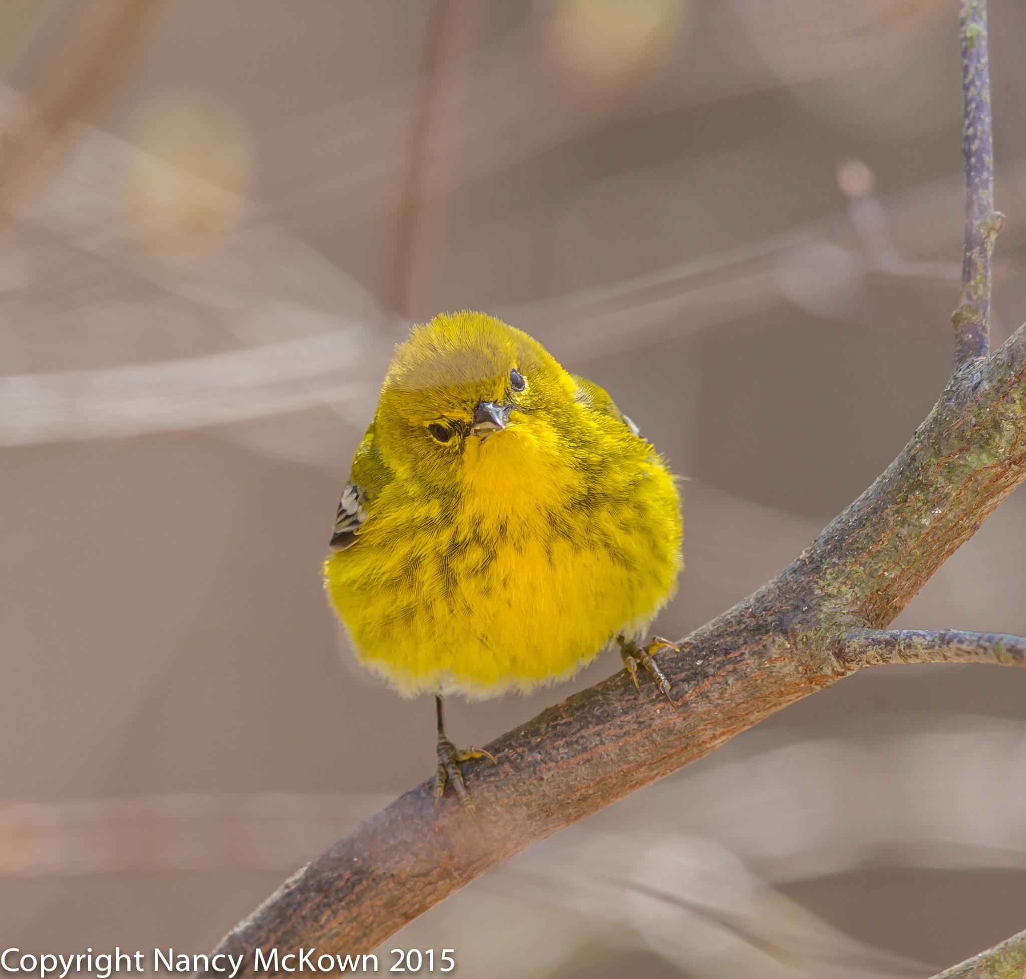 Photo of Pine Warbler