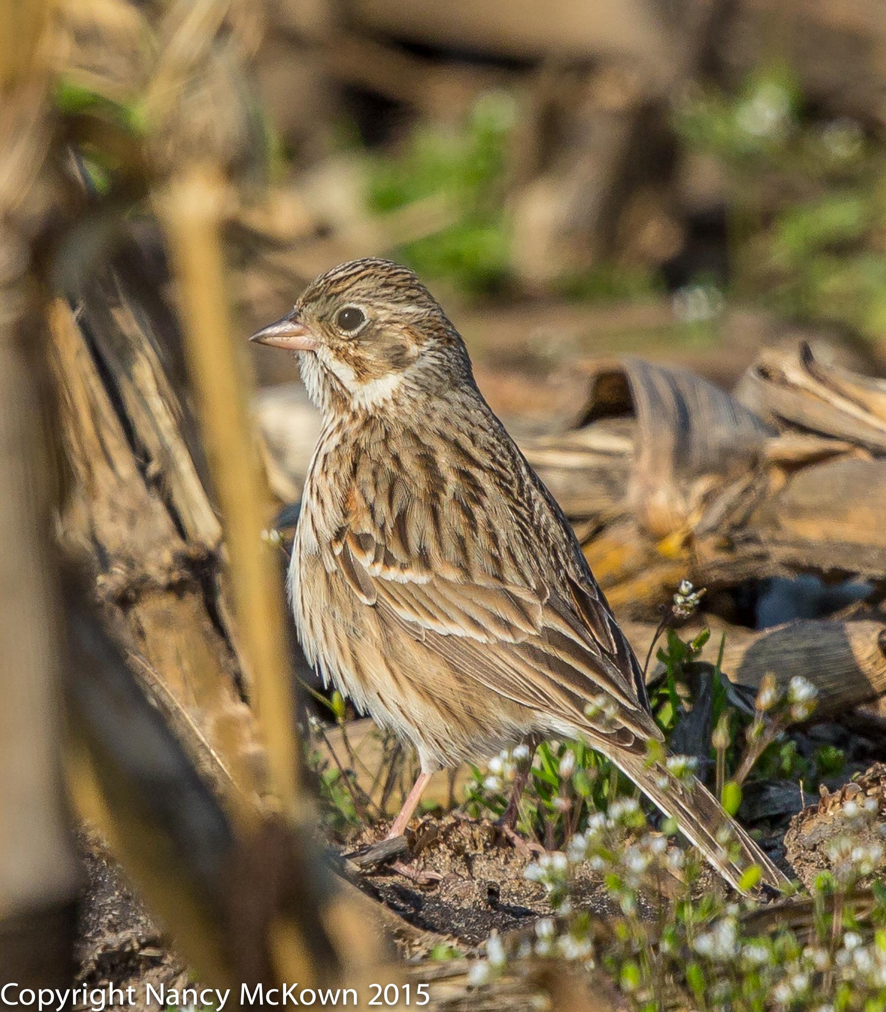 Photo of Vesper Sparrow