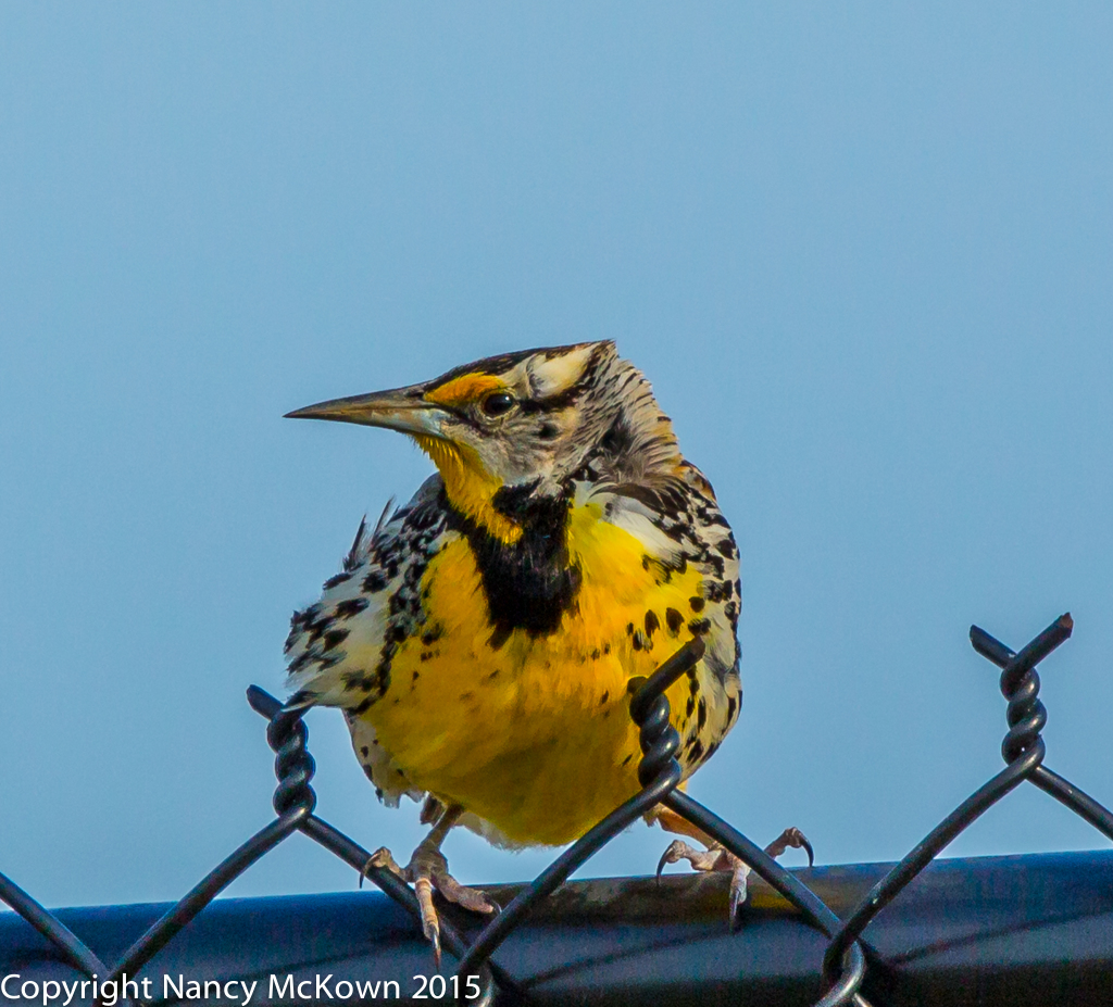 Photo of Western Meadowlark