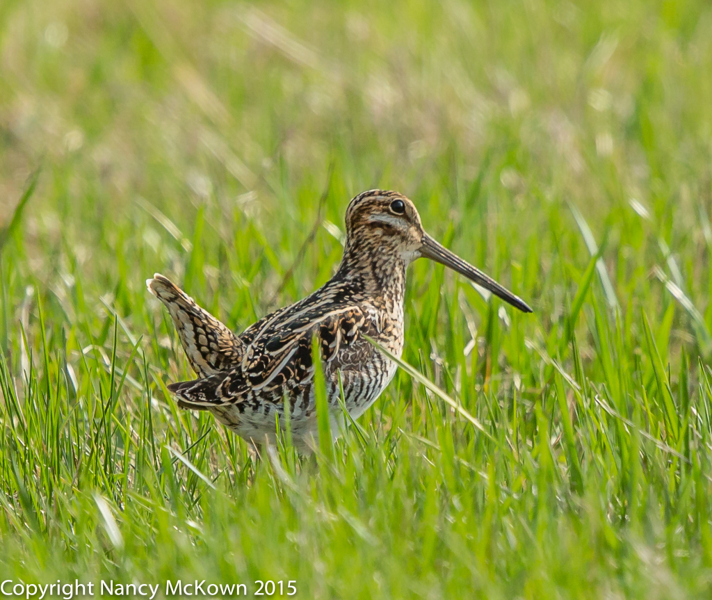 Photo of Wilson's Snipe