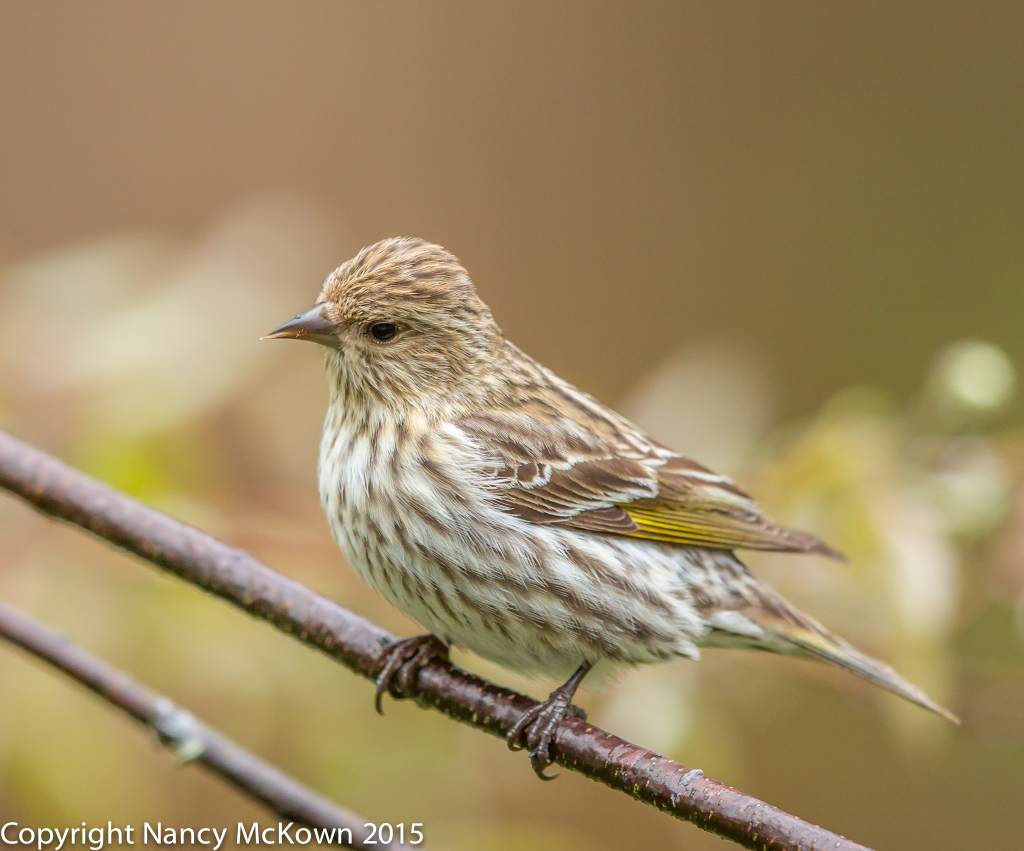 Photo of Pine Siskin