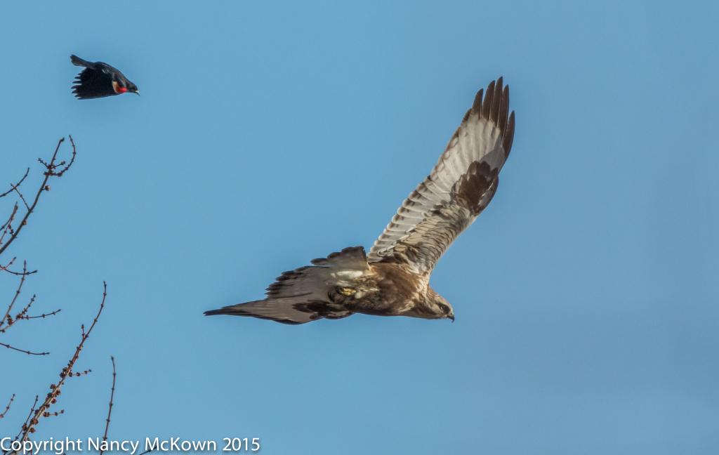 Photo of Rough Legged Hawk