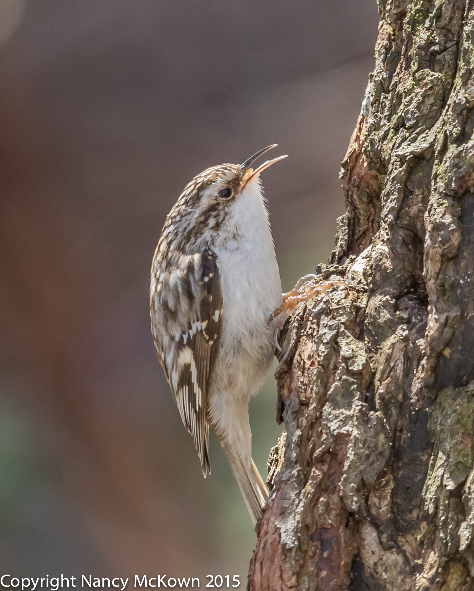 Photo of Brown Creeper