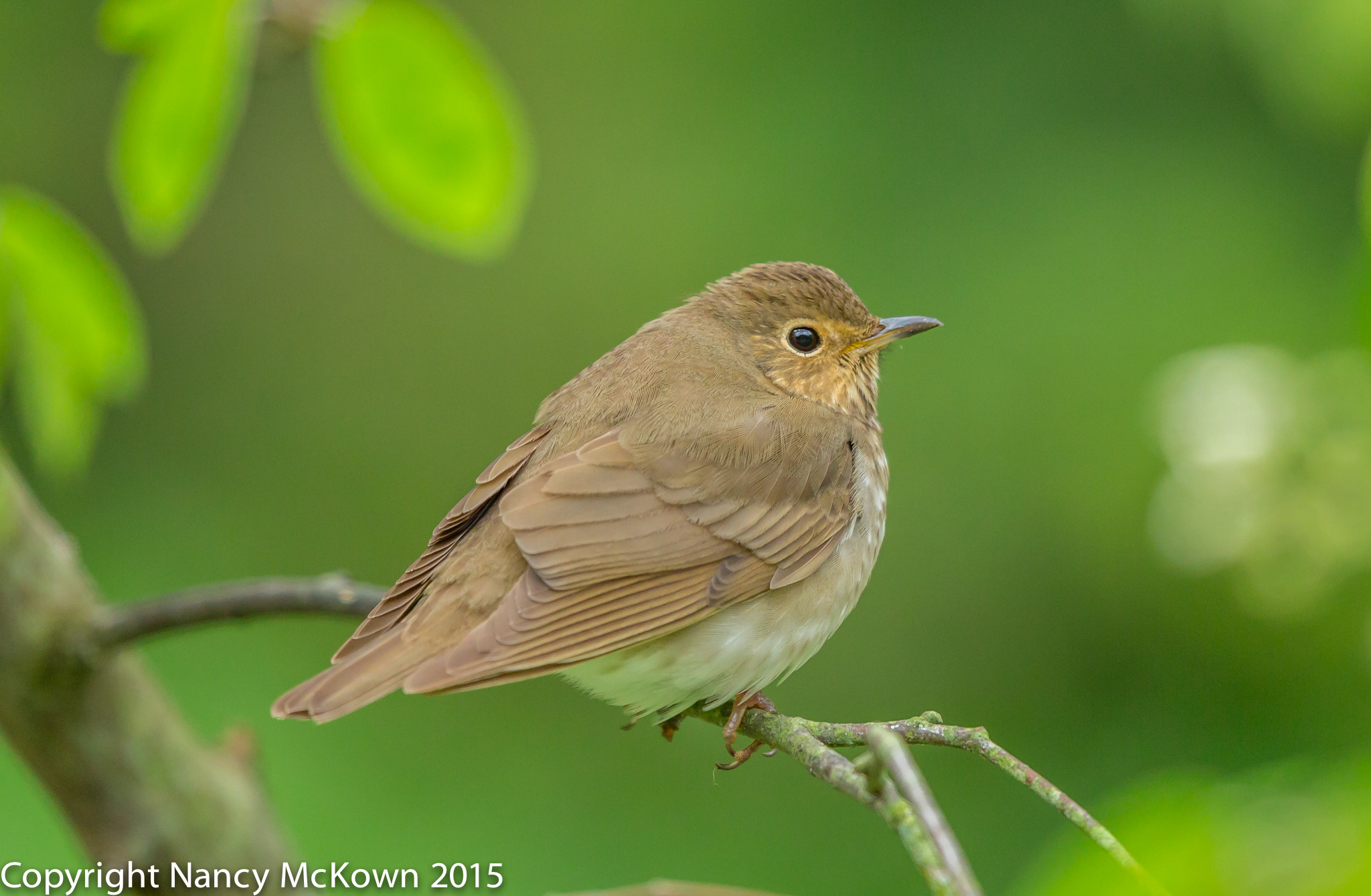 photo of Swainson's Thrush