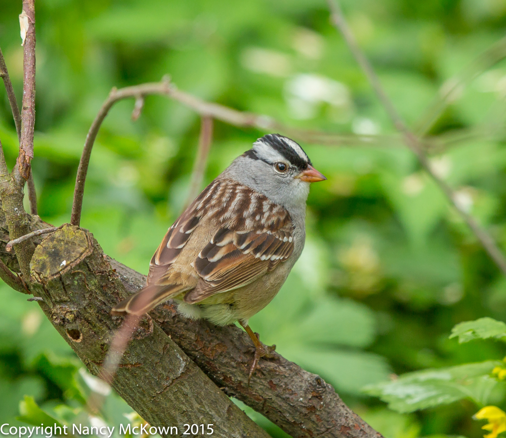 Photo of White Crowned Sparrow
