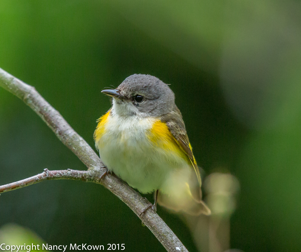 Photo of Female American Redstart Warbler