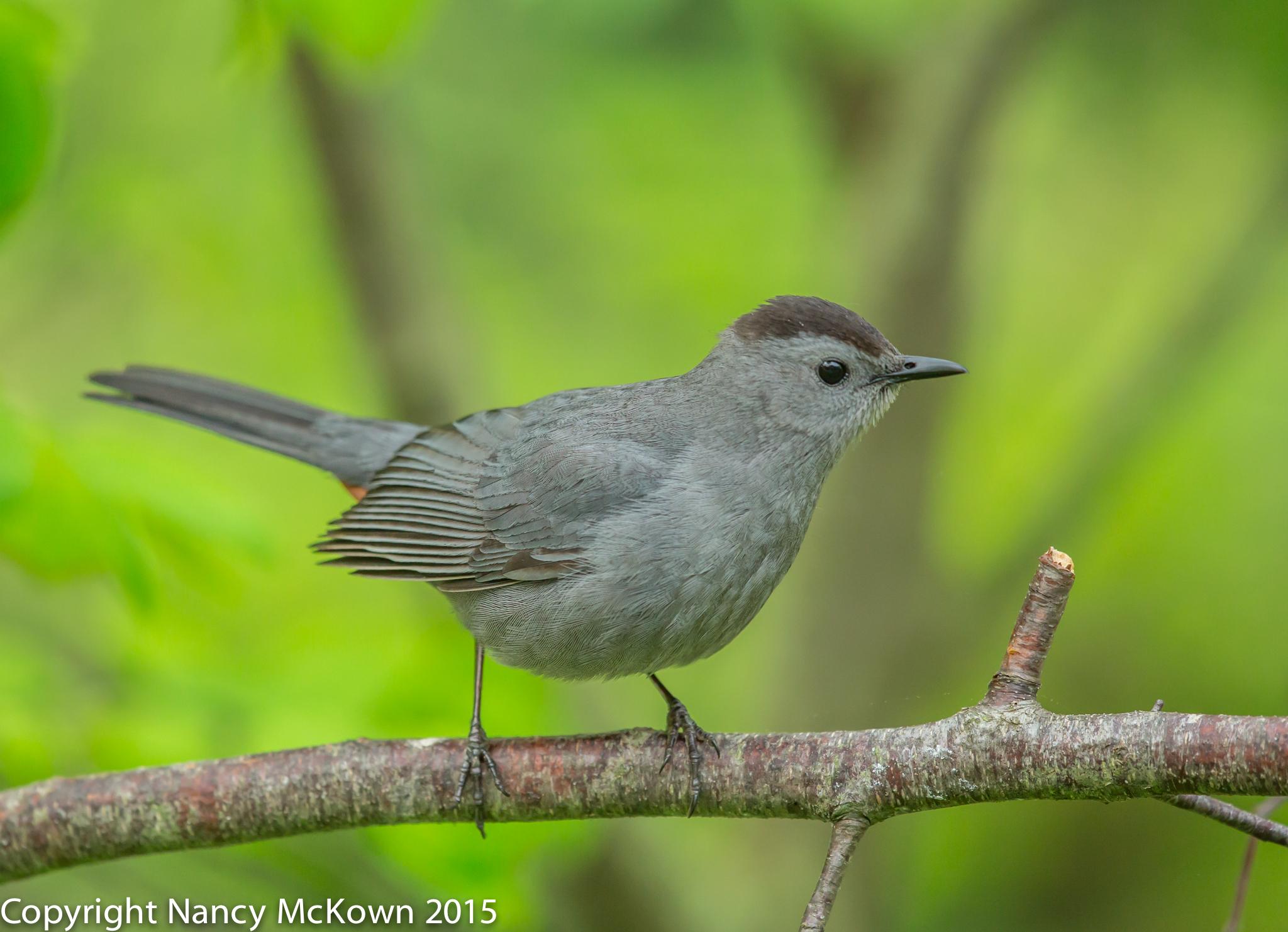 Photo of Gray Catbird