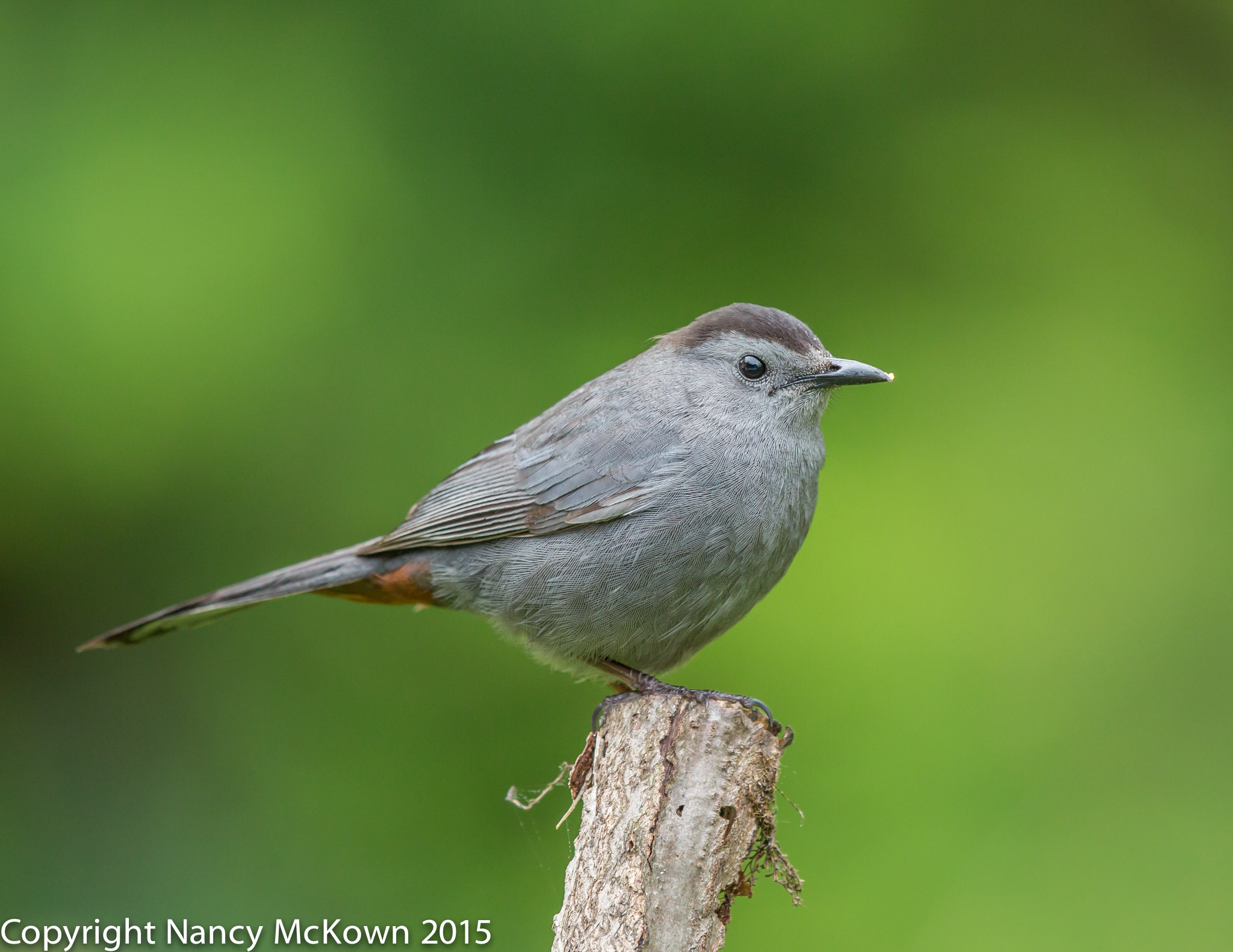 Photograph of Gray Catbird
