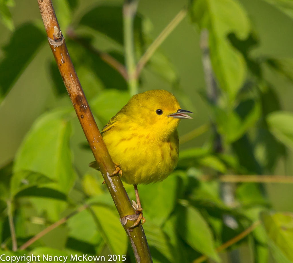 Photo of Female Yellow Warbler
