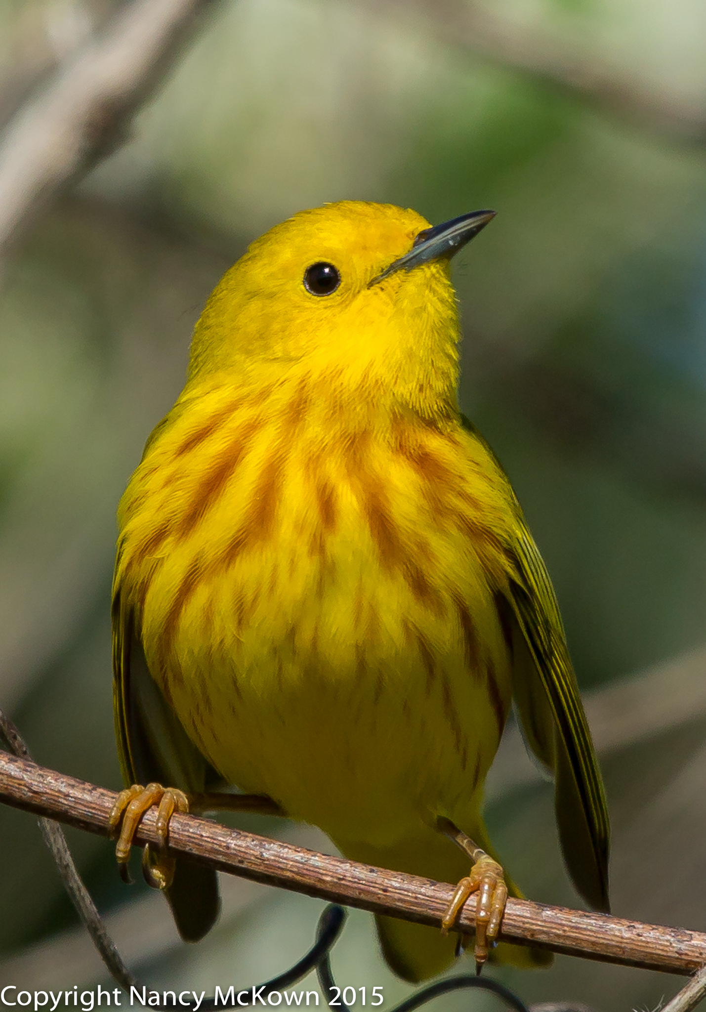 Photo of Yellow Warbler