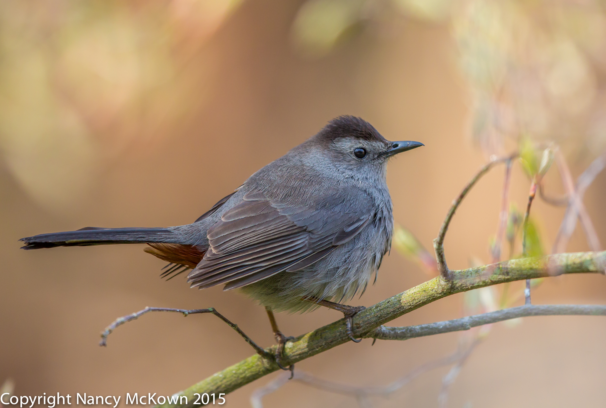 Photo of Catbird