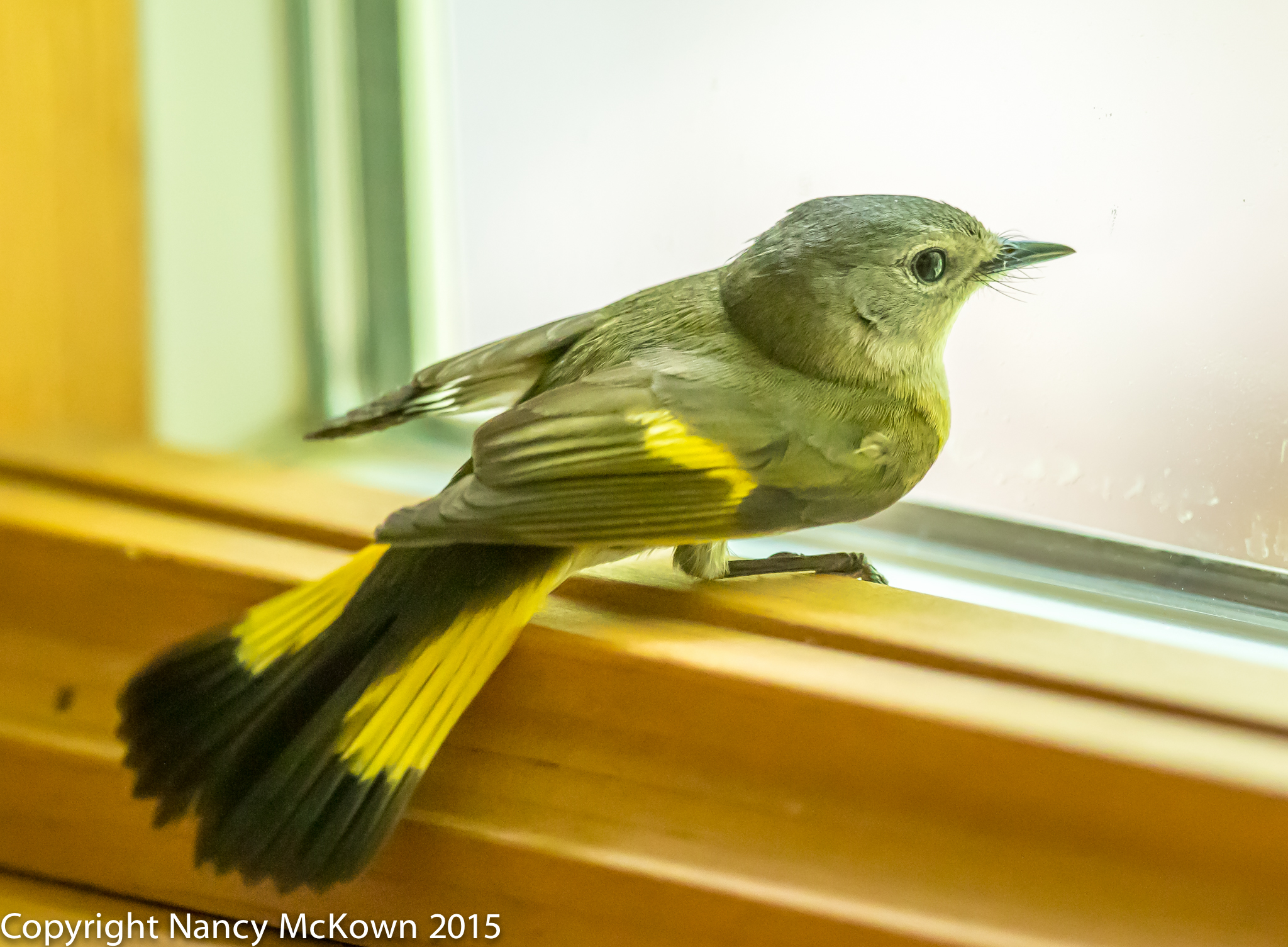 Photo of Female American Warbler