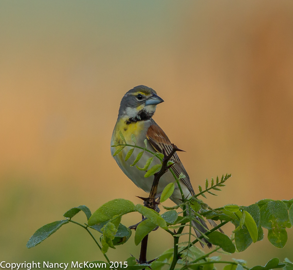 Photo of Dickcissel