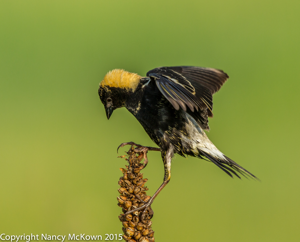 Photo of Male Bobolink