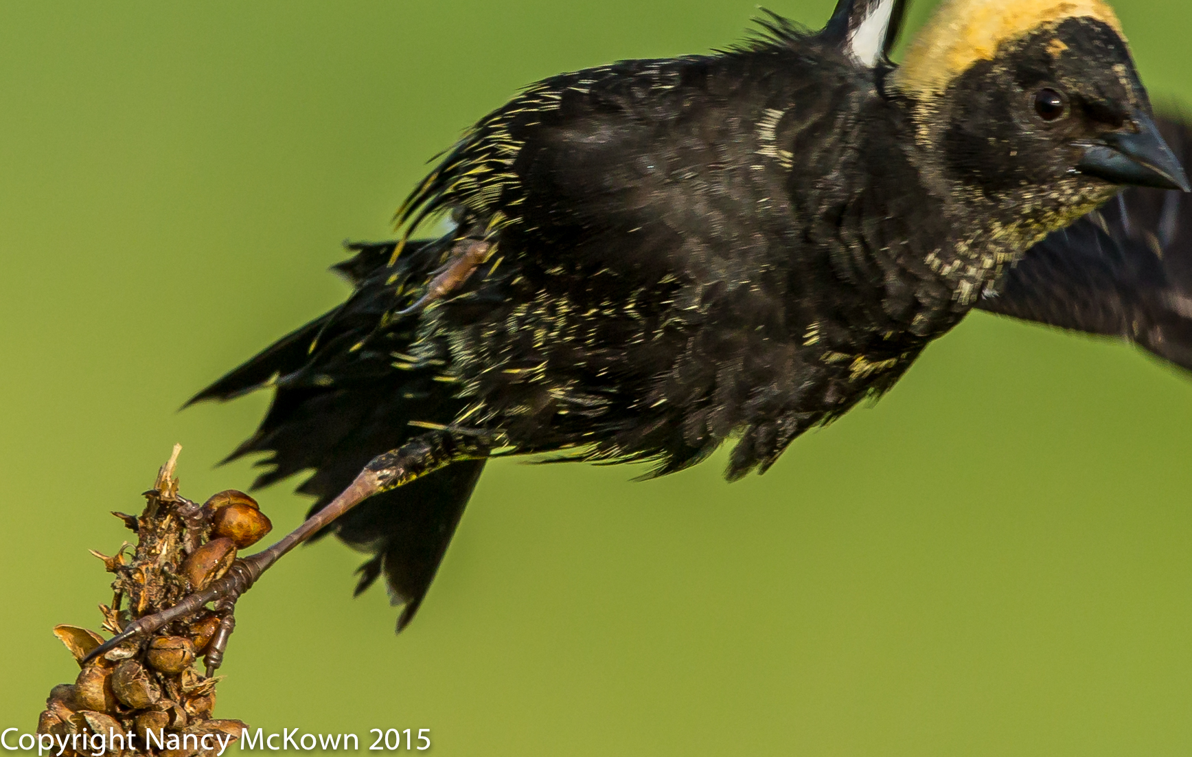Photo of Deformed Male Bobolink