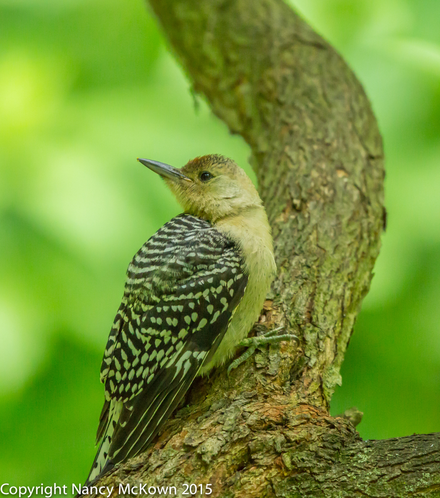 Photo of Fledging Red Bellied Woodpecker