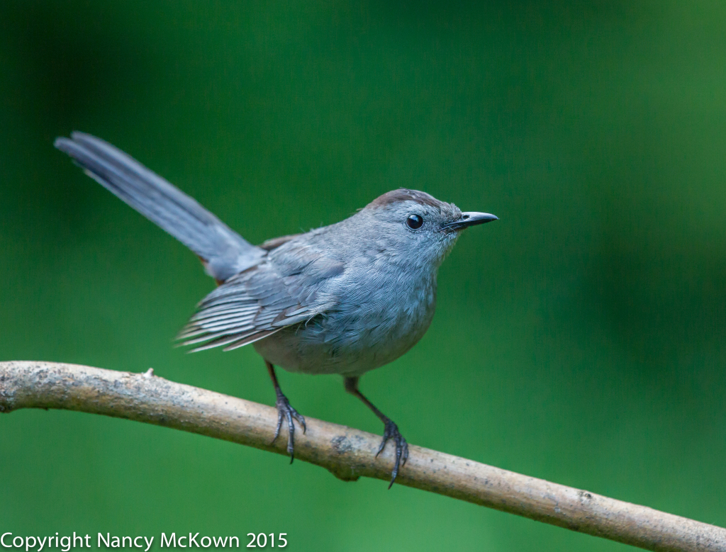 Photo of Gray Catbird