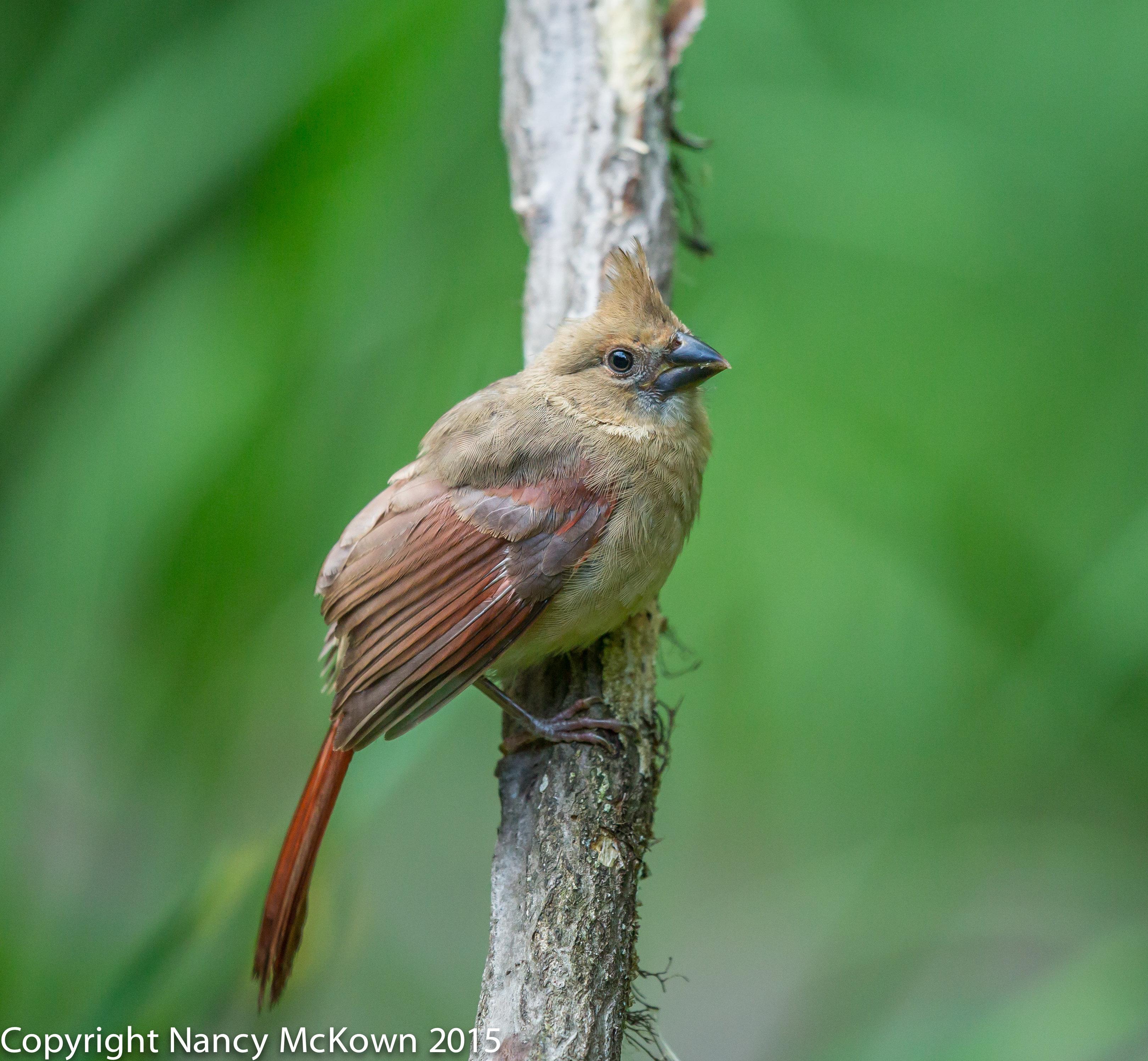 Photo of Immature Cardinal