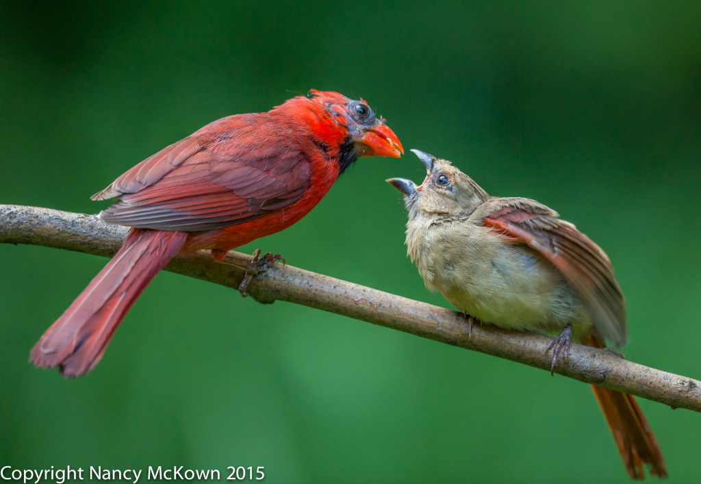 Photo of Male Cardinal Feeding Fledging