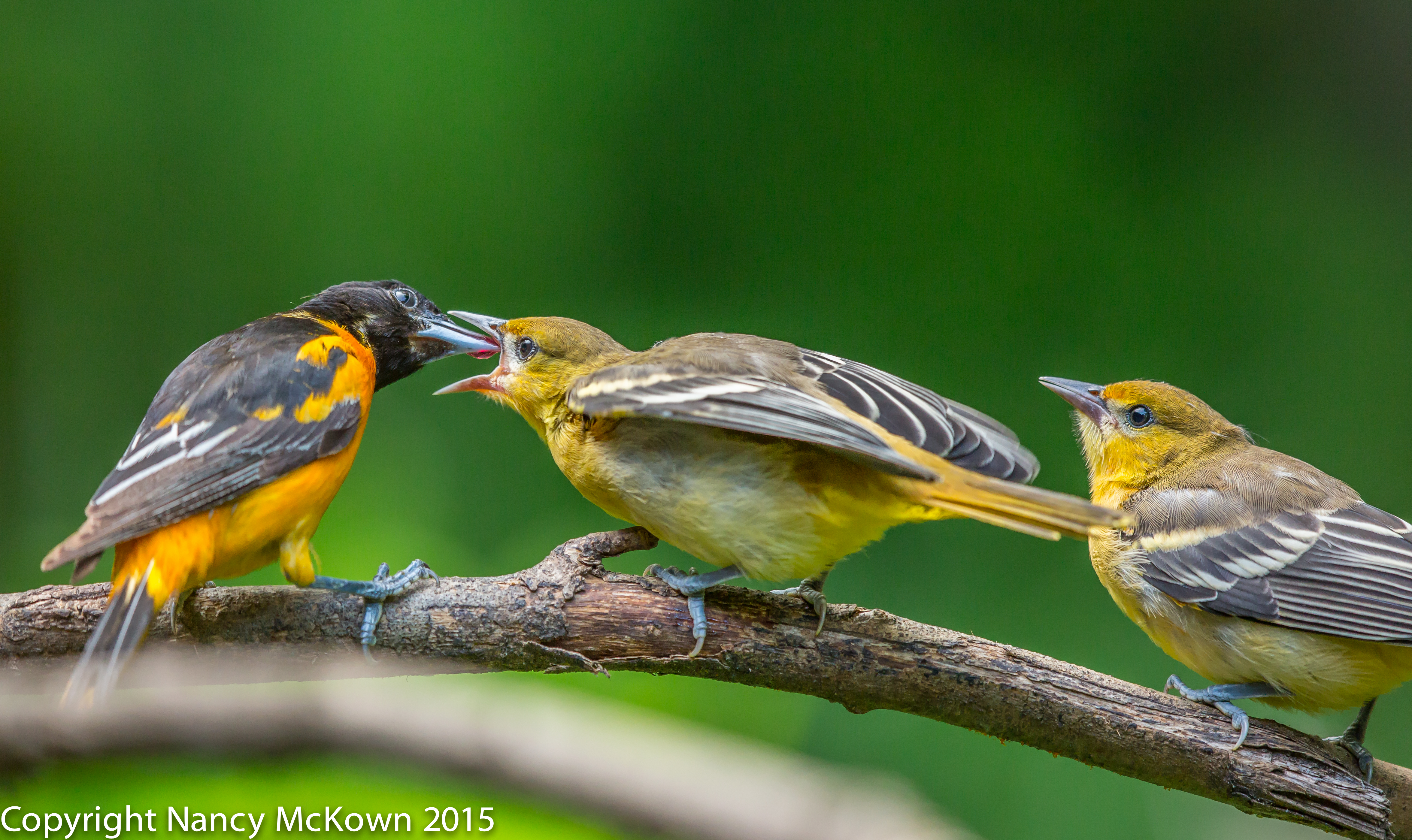 Photo of Two Fledging Baltimore Orioles