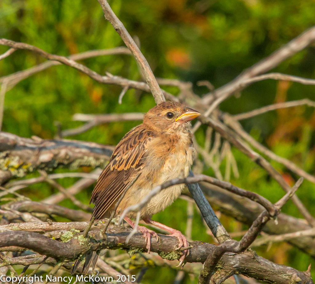 Photo of Fledging Dickcissel